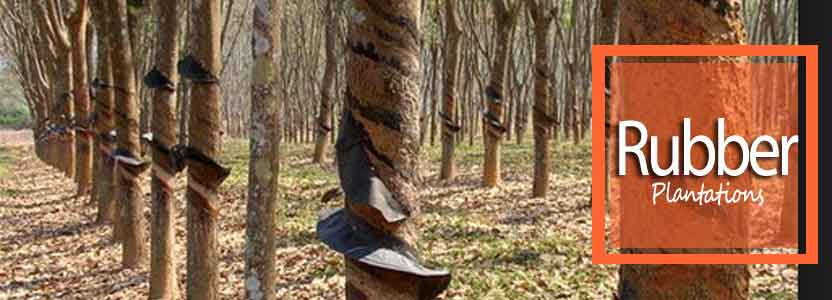 Rubber plantations in Damenglong - Yunnan province